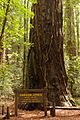 Armstrong Redwoods State Natural Reserve - 03.jpg
