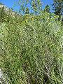 Artemisia dracunculus 4.jpg