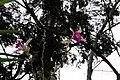 Arundina graminifolia 2zz.jpg