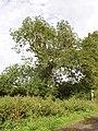 Ash tree, Bearshank Wood - geograph.org.uk - 527281.jpg
