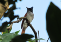 Asian Paradise-Flycatcher.png