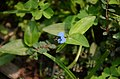 Asiatic dayflower WLB DSC 9002.jpg