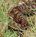 Asp Viper (Vipera aspis) female (found by Jean NICOLAS) (34854584514).jpg