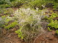 Asparagus umbellatus (La Fajana) 06 ies.jpg