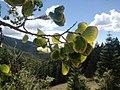 Aspen Vista in Santa Fe National Forest (15584916002).jpg