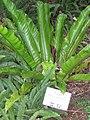 Asplenium nidus in Lyon Arboretum.jpg
