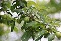 Ast mit Blättern2.jpg