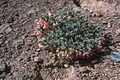 Astragalus beatleyae.jpg