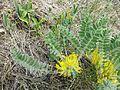 Astragalus exscapus sl13.jpg