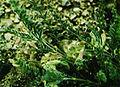 Astragalus johannis-howellii.jpg