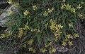 Astragalus mospessulanus Mallola.JPG