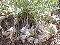 Astragalus purshii glareosus (3849404764).jpg