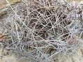 Astrophytum capricorne (5668817481).jpg