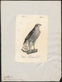 Astur palumbarius - 1842-1848 - Print - Iconographia Zoologica - Special Collections University of Amsterdam - UBA01 IZ18300001.tif