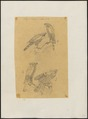 Astur trivirgatus - 1863-1876 - Print - Iconographia Zoologica - Special Collections University of Amsterdam - UBA01 IZ18300037.tif
