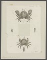 Atelecyclus heterodon - - Print - Iconographia Zoologica - Special Collections University of Amsterdam - UBAINV0274 095 03 0006.tif