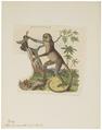 Ateles hypoxanthus - 1833-1839 - Print - Iconographia Zoologica - Special Collections University of Amsterdam - UBA01 IZ20200123.tif