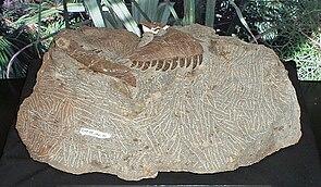 Fragmentarischer Schädel von Atrociraptor