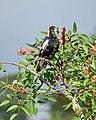 Australian Magpie (32295708215).jpg