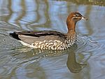 Australian Wood Duck female RWD.jpg