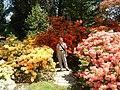 Azaleas in Hergest Croft Garden - geograph.org.uk - 5701.jpg