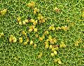 Azorella compacta (8427860829).jpg