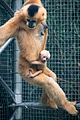 Baby Gibbon Clinging to Mom (20780087629).jpg