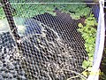 Back-yard summer tilapia pond, aeration detail.JPG