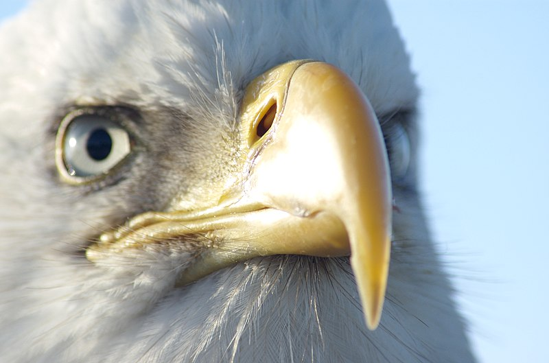 File:Bald Eagle Alaska (22).jpg
