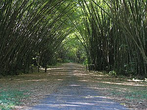 Bamboo Cathedral on the road to the Tracking S...