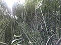 Bamboo bambou bambuseae phyllostachys viridiglaucescens VAN DEN HENDE ALAIN CC-BY-SA-4 0 210520142033.jpg