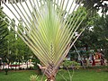 Banana Palm - വാഴപ്പന 01.JPG