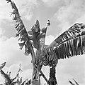 Bananenboom, Bestanddeelnr 252-2601.jpg