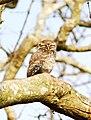 Bandipur Jungle Owlet.jpg