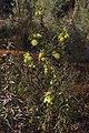 Banksia acanthopoda gnangarra 05.JPG