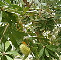Banksia integrifolia LeavesInflorescence BotGard1205.jpg
