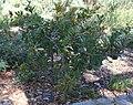 Banksia lemanniana.jpg