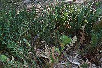 Banksia repens.jpg