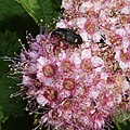 Baris dispilota on Spiraea japonica.jpg