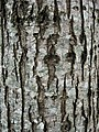 Bark of Dutch hybrid elm Ulmus 'Nanguen' = LUTECE.jpg