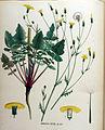 Barkhausia foetida — Flora Batava — Volume v16.jpg