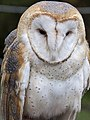 Barn Owl (4575701579).jpg