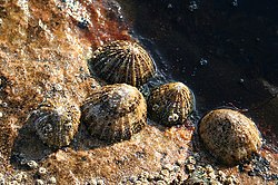Barnacles on Limpets on the Covesea shoreline. - geograph.org.uk - 421120.jpg