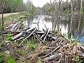 Barrage de castor sur le chemin des clubs - panoramio.jpg