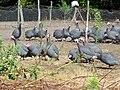 Bascons élevage pintades.JPG
