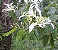 Bauhinia forficata (17921482504).jpg