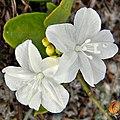 Beach clustervine (Jacquemontia reclinata) (6571775387).jpg