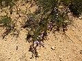 Beaufortia schaueri (habit).JPG