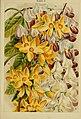Beautiful flowering trees and shrubs for British and Irish gardens (1903) (20170707510).jpg