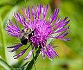 BeeFlowerWestBath1 (9386953503).jpg